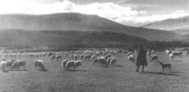 Pastoreo de ovejas. Foto Ebro