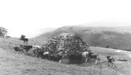Vacas en la fuente. Foto Ebro