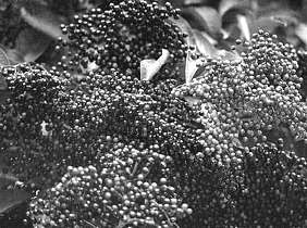 Fruto del sauco